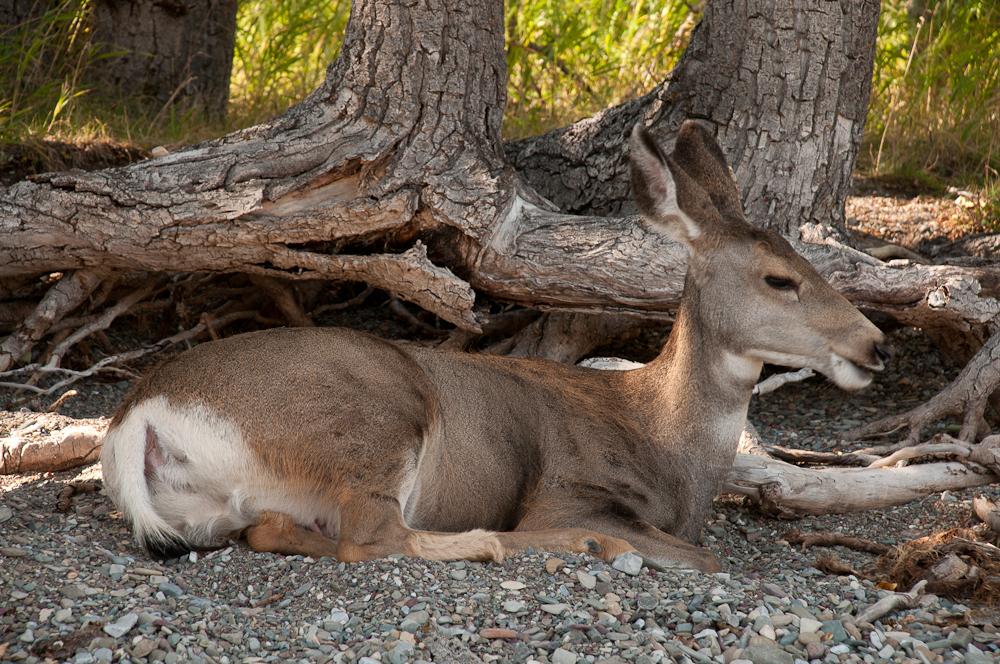 Deer_waterton_lakes_200211