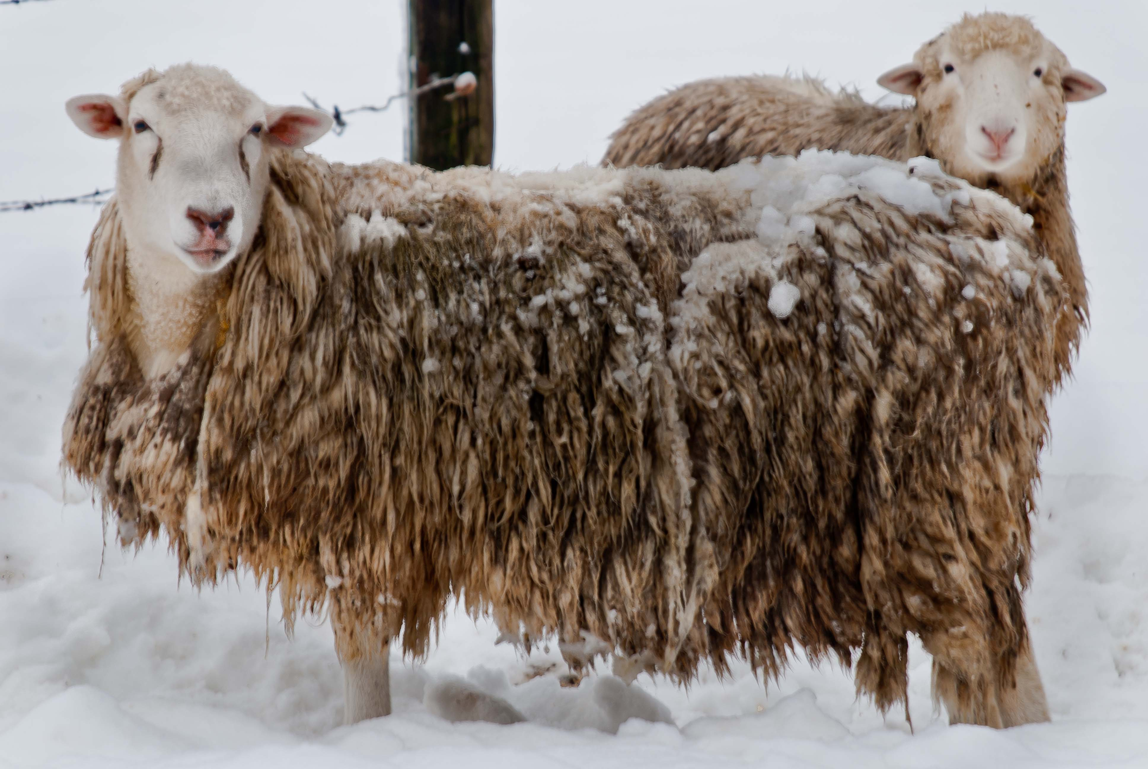 Sheep_in-winter_0560