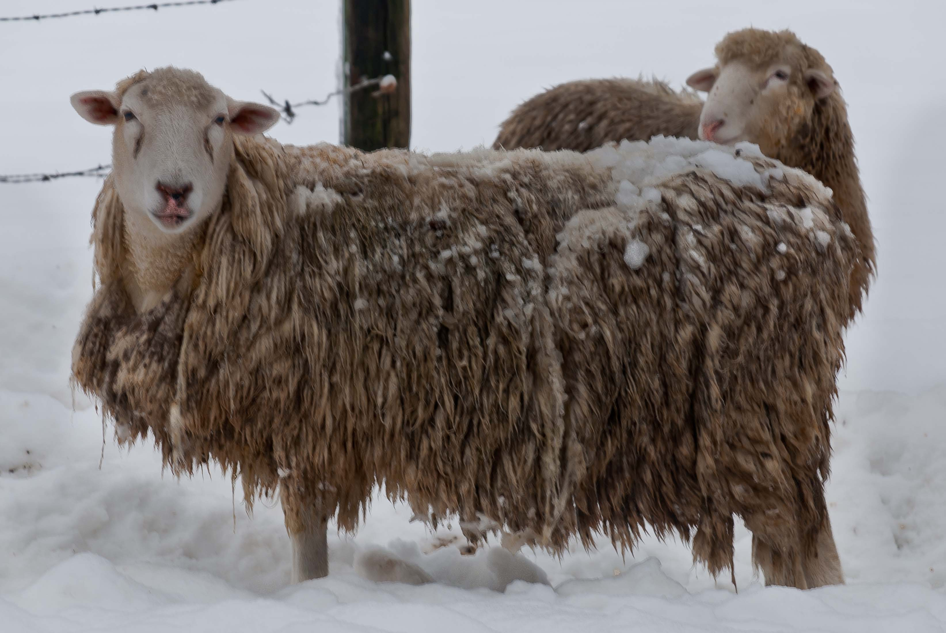 Sheep_in-winter_0561
