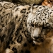 5941_snow_leopard_zoo_roger_williams_park_-20140323