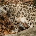 5944_snow_leopard_zoo_roger_williams_park_-20140323
