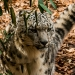 5945_snow_leopard_zoo_roger_williams_park_-20140323