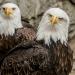 5974_eagle_zoo_roger_williams_park_-20140323