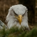 5986_eagle_zoo_roger_williams_park_-20140323
