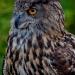 Owl_european-eagle_6854