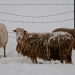Sheep_in-winter_0547