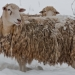 Sheep_in-winter_0565
