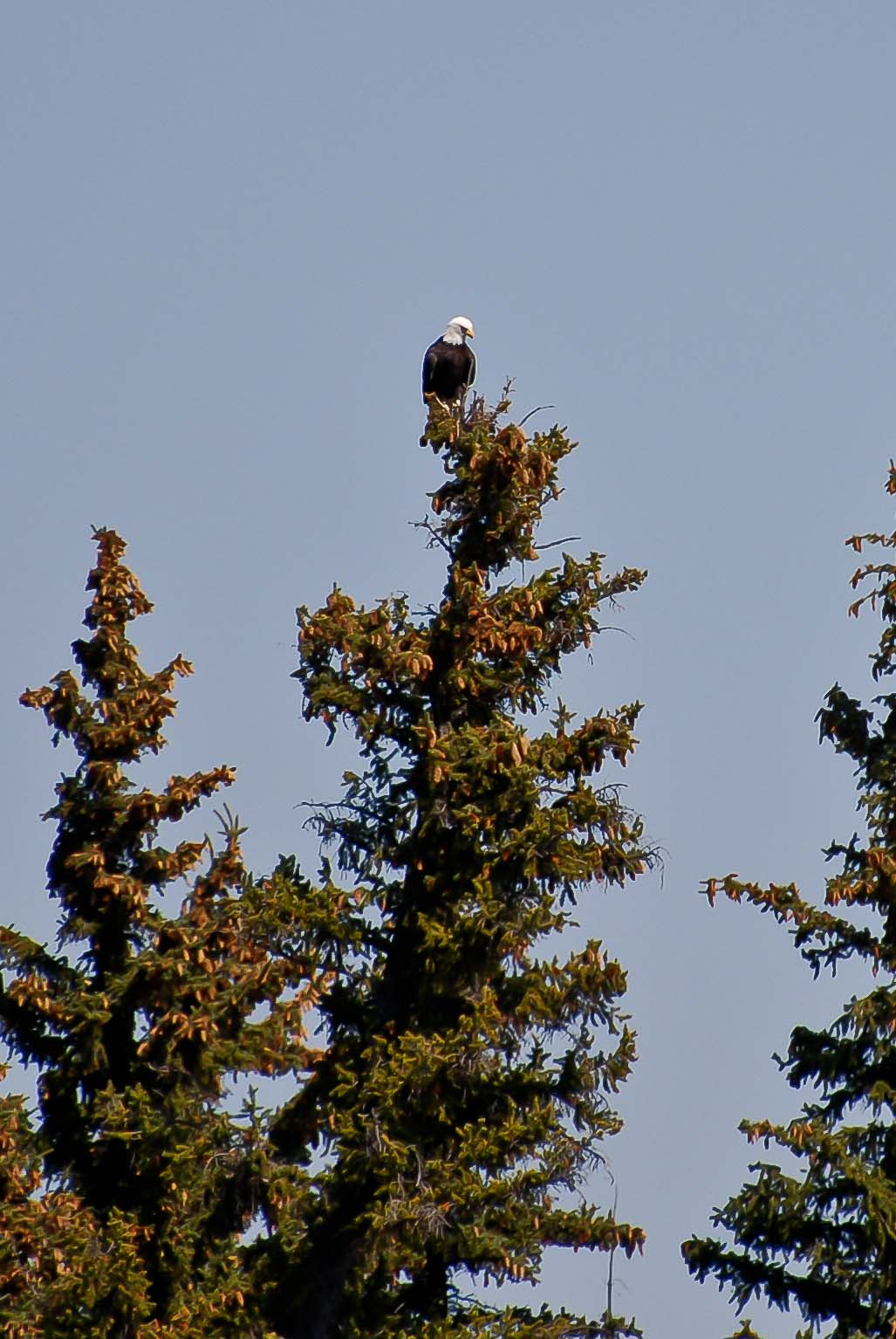 Eagle_bald-eagle-0645