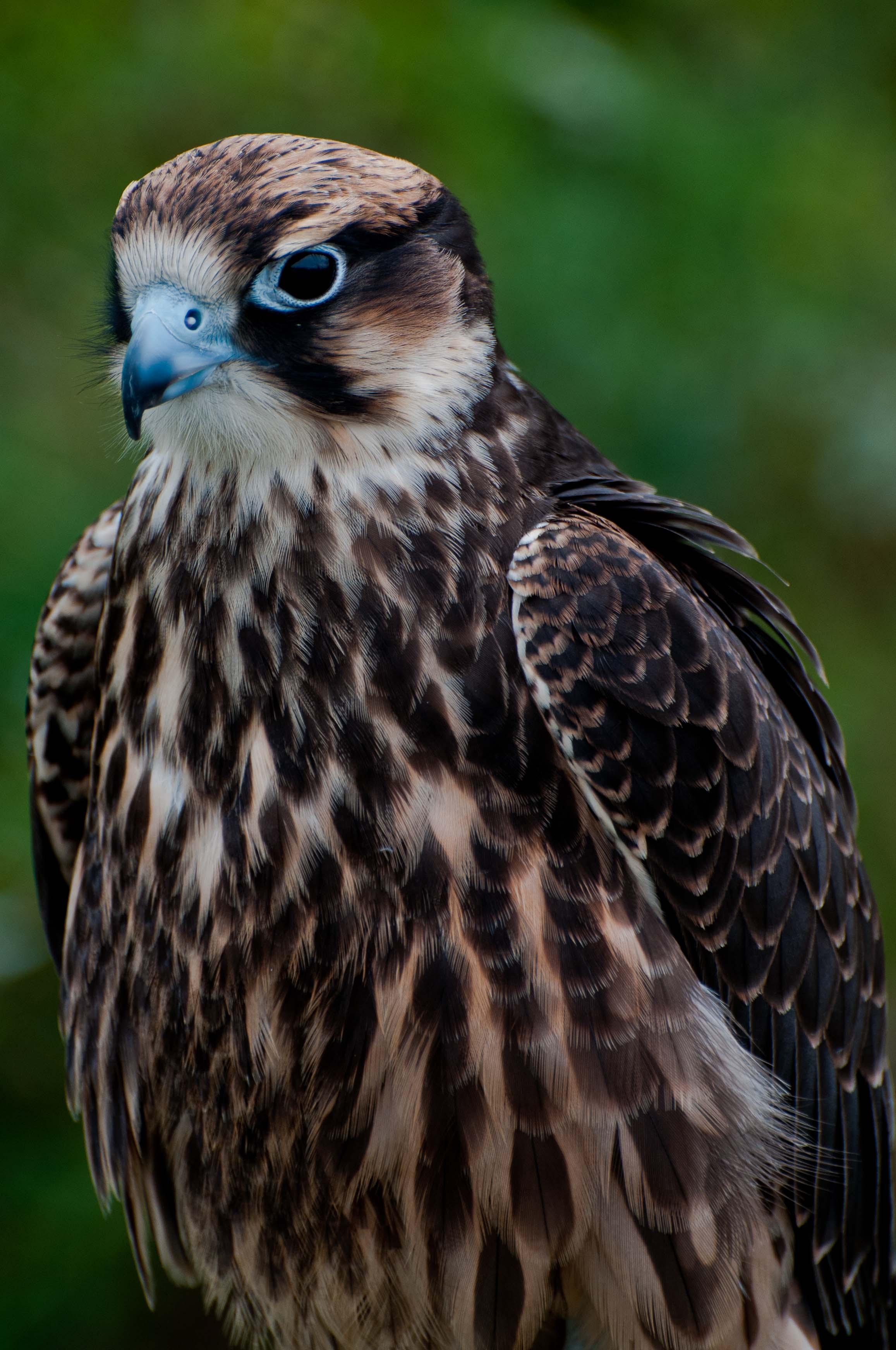 Falcon_lanier_falcon_6880