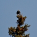 Eagle_bald-eagle-0642