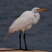 Egret_barrington_mathewson_road_7109