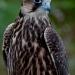 Falcon_lanier_falcon_6872