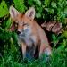 Fox_family_5772