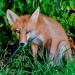 Fox_family_5786