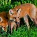 Fox_family_5789