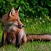 Fox_family_5854