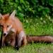 Fox_family_5860