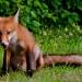 Fox_family_5872