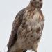 Hawk_redtail_5138