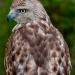 Hawk_redtail_6894