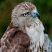 Hawk_redtail_6898