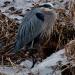 Heron_Great_Blue_4671