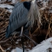 Heron_Great_Blue_4672