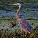Heron_great_blue-6601-2
