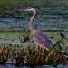 Heron_great_blue-6601