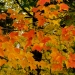 113--Bar Harbor foliage-1141