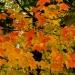113--Bar Harbor foliage-1141