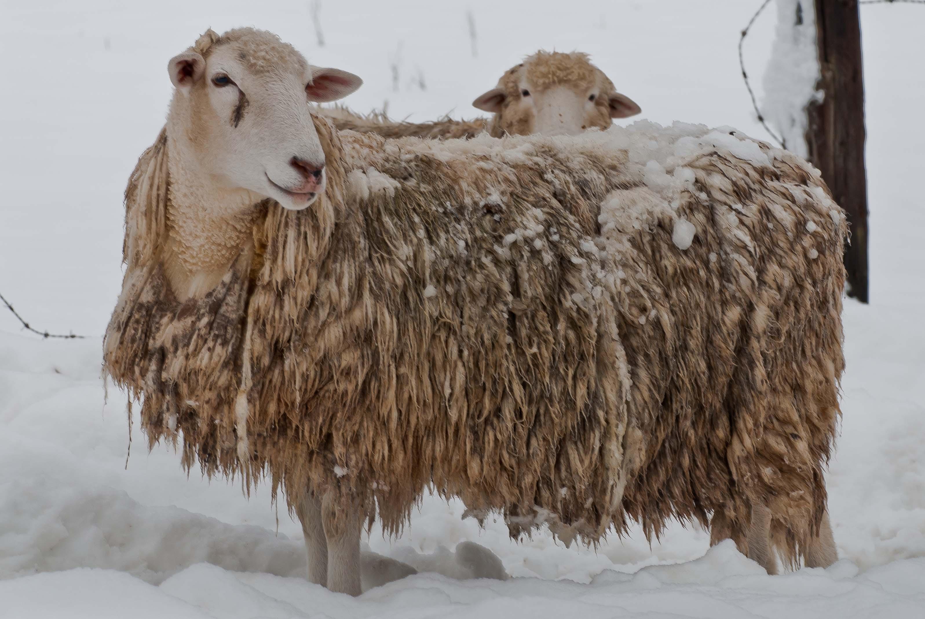 Sheep_in-winter_0565