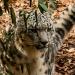 5945_snow_leopard_zoo_roger_williams_park_-20140323