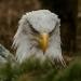 5986_eagle_zoo_roger_williams_park_-20140323