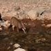 Deer_waterton_lakes_300509