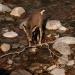 Deer_waterton_lakes_300515