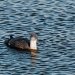 Loon_red_throated_loon_6948