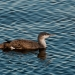 Loon_red_throated_loon_6951