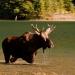 Moose_akamina_lake_200232