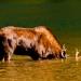 Moose_akamina_lake_200244