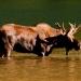 Moose_akamina_lake_200249