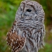 Owl_bard_6864