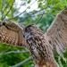 Owl_european-eagle_6856