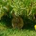 Rabbit-0035