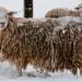 Sheep_in-winter_0560