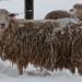 Sheep_in-winter_0561