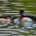 Wood ducks_7306