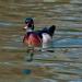 Wood ducks_7308