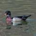 Wood ducks_7310
