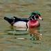 Wood ducks_7327